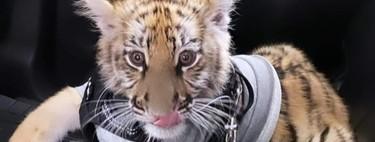 Tener un tigre de bengala como el de Antara no es ilegal en México si se tienen los permisos, pero pasearlo sí