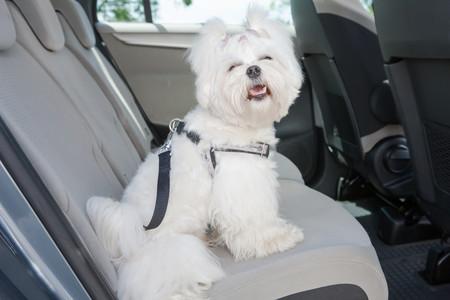 Perro en el asiento trasero