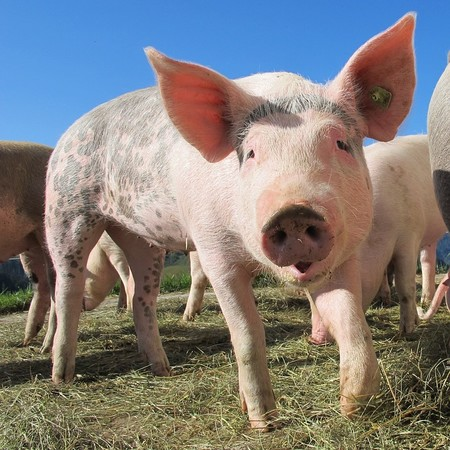 Pig 214349 960 720