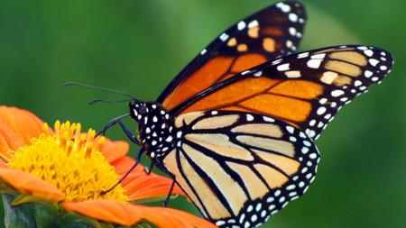 Desentrañando los secretos de la migración de las Mariposas Monarca
