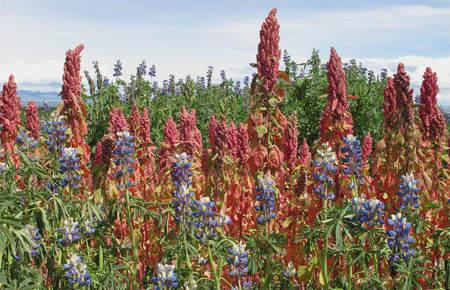 Plantas de quinoa