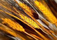 El árbol genealógico del trigo