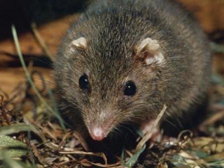 Quien dijo que el sexo no mata es porque no conocía a este pequeño marsupial