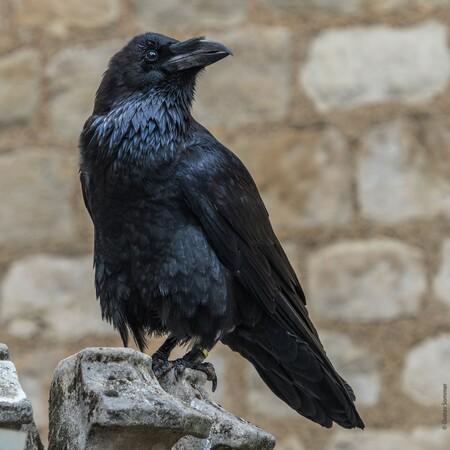Raven 3663930 1920