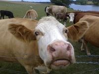 Boñigas de vaca en la India o la vaca como animal sagrado