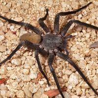 Así de espeluznante es la nueva araña descubierta en Baja California Sur, México