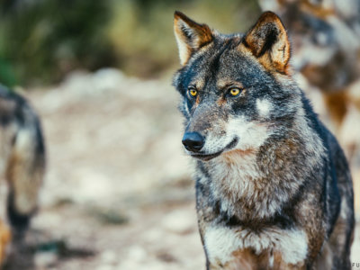 El lobo ibérico en España: una especie, dos posturas y tres situaciones legales