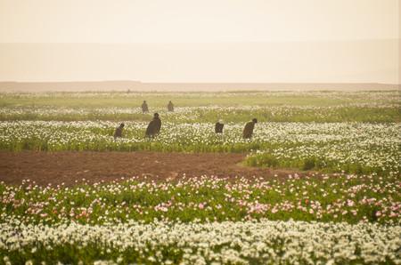 Heroína sostenible: cómo la energía solar está revolucionando el cultivo de opio en Afganistán