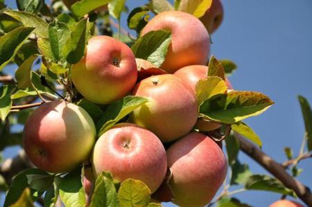 manzana-1.jpg