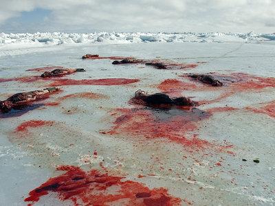 Canadá cumple 150 años... permitiendo la caza de crías de foca del modo más brutal imaginable