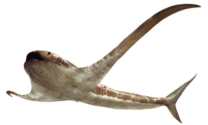 Se encuentra un fósil de tiburón inusual, 'alado', que recuerda a las mantarrayas