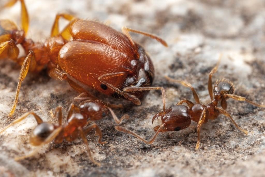 El misterio de las hormigas soldado: así es cómo un órgano