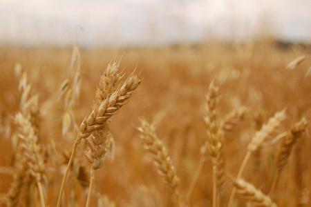 Encuentran relación entre un herbicida y la enfermedad celíaca