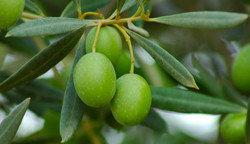 ¿Qué pasa con el aceite de oliva?