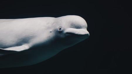 """La marina rusa está entrenando ballenas, focas y delfines para usarlos en el ártico: qué sabemos de la """"nueva arma"""" rusa"""