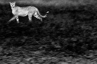 Un guepardo fantasmal, premio GDT European Wildlife Photographer 2010