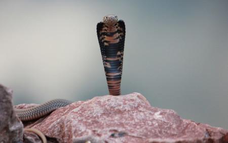 Cobraescupidora