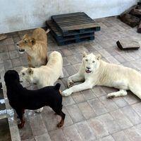 Profepa aseguró a tres leones africanos que vivían en la azotea de una casa en Ciudad de México