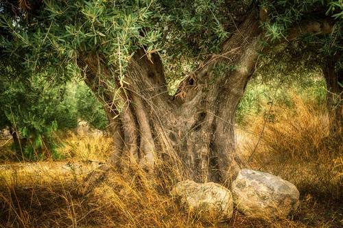 Pasas, sal y olivos: estos son los tres espacios agrícolas que la ONU protege en España