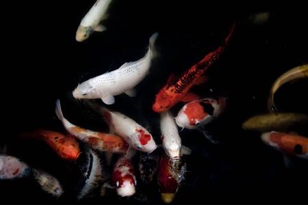 """La """"generación espontánea"""" no existirá, pero los estanques aislados siguen llenándose de peces: el mecanismo que resuelve un misterio de cientos de años"""