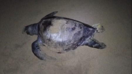 En las costas de Guerrero, México han aparecido 16 tortugas muertas, las autoridades ya investigan qué sucede
