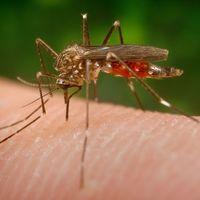 El mosquito que llegó de Japón: hay una nueva especie invasora en España y nos está ganando la partida