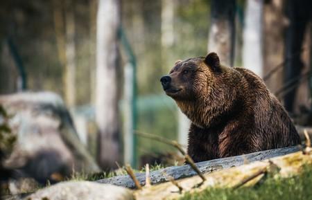 Cuando Europa cambió de rey: el ADN mitocondrial puede resolver el enigma de la muerte del oso cavernario