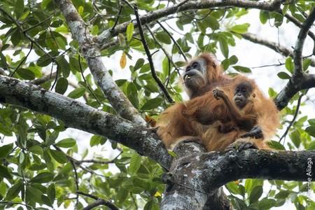 Acabamos de descubrir una especie nueva de orangután. Ya está en peligro de extinción
