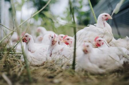Chicken 4474176 1920
