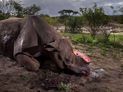 La realidad detrás de la mejor foto de naturaleza del año sobre un rinoceronte negro abatido