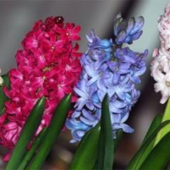 Plantas de interior jacintos - Jacinto planta cuidados ...