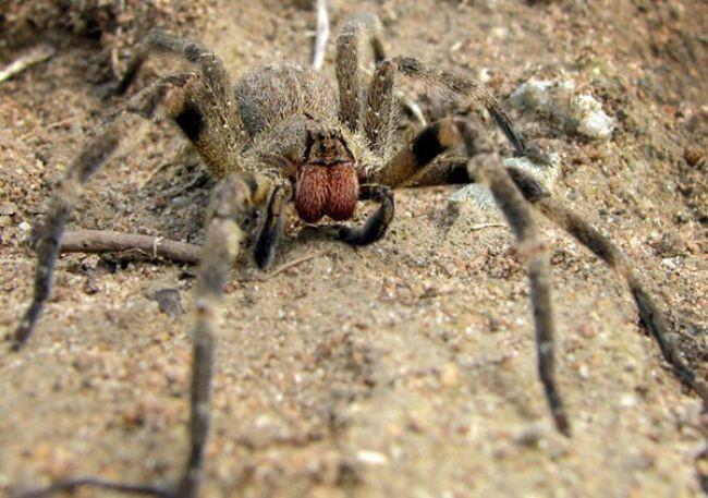 La araña más venenosa del mundo también te provocará una erección larga y dolorosa