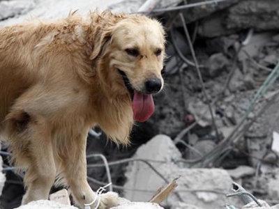 Ha muerto el heroico perro rescatista Dayko, quien ayudó durante los terremotos de Ecuador