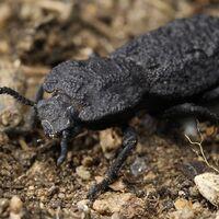 Este escarabajo acorazado puede soportar 39.000 su propio peso: acabamos de descubrir el secreto de su 'diabólica' resistencia