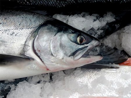 Salmones genéticamente modificados a evaluación