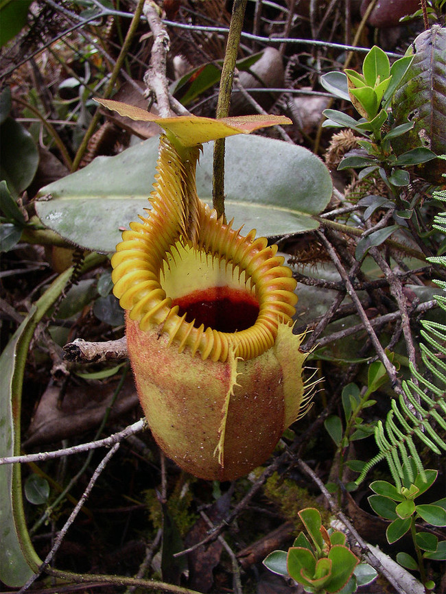 Ésta es la planta carnívora más grande y mide casi medio metro