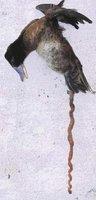 El pato que tenía un enorme pene