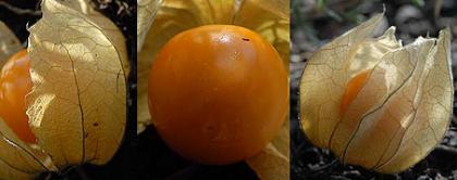 Alquequenje, alquejenje o farolillo chino (Physalis alkekengi)