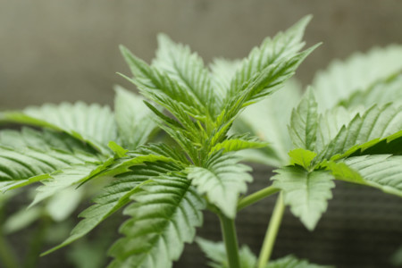 Marihuana Hojas