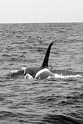 Caza de orcas en las costas de Cádiz