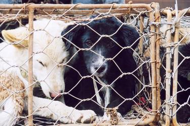 En pleno siglo XXI todavía es legal comer perro o gato en estos países