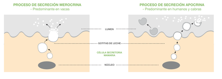 Proceso Secrecion Grasaleche Blanco