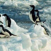 Las perversas costumbres sexuales de los pingüinos Adelia que se difundieron en un libro clandestino