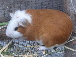 Carne enlatada de cuy o conejillo de Indias en Europa y EEUU