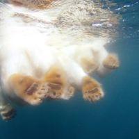 Sigamos a nado a los osos polares