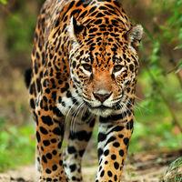 En México hay 4,800 ejemplares de jaguar en vida silvestre, su población ha aumentado 20% en ocho años