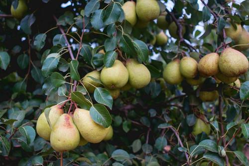 Tres deliciosas recetas con pera Rocha, la joya de la región Oeste de Portugal