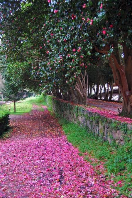 Ruta Camelia Galicia 2