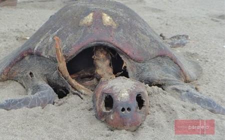 Tortugas Muertas Chiapas Investigadores