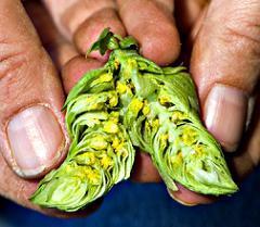 Teamaker, la nueva variedad de lúpulo más saludable para elaborar cerveza de mayor calidad